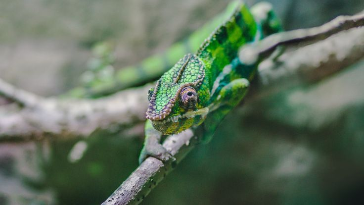 [#HD Wallpaper] Green chameleon perched on a tree branch - #Chameleons #Lizard #Reptile #CommonIguanas Nature, Wildlife, Animal, Green  - Photo by Viktor Kern @viktorkern (unsplash)  - Follow #extremegentleman for more pics like this!