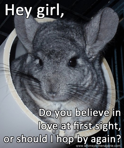 http://www.whimsys-menagerie.com/ Whimsy's Menagerie & Chinchilla Rescue
