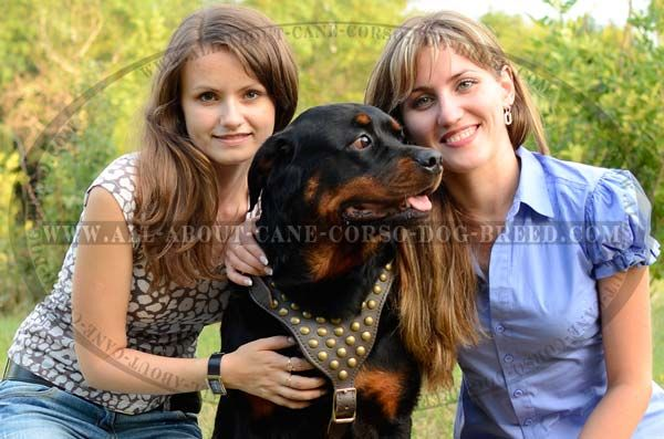 Walking Leather Dog Harness With Look Rusted Hemispheres for Powerful Rottweiler Breed