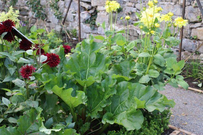 Herbst Rhabarber Frische Ernte Bis Oktober In 2020 Pflanzen Ernte Garten