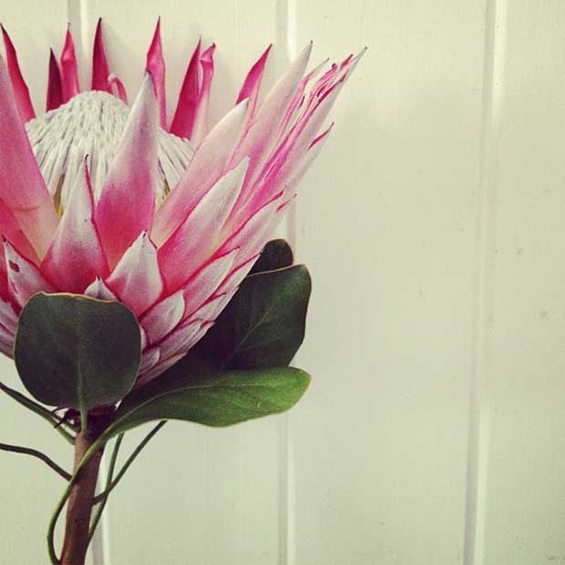 Protea-Flower