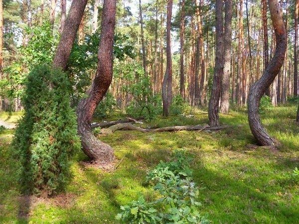 Kampinoski Tańczący Bór - nie tak ciekawy jak np. zachodniopomorski Krzywy las, ale parę krzywych drzew też się znajdzie :)
