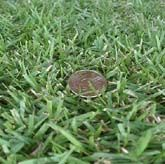 NEXT SHIP DATE March 23rd - Empire Zoysia Grass Plugs - Slow growing Type 36 @3