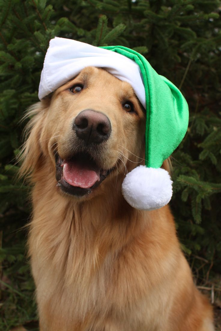 Christmas Golden Retriever Puppy #Holiday #Dogs