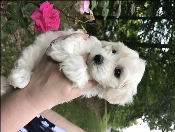 Litter of 2 Maltese-Poodle (Toy) Mix puppies for sale in TOANO, VA. ADN-29197 on PuppyFinder.com Gender: Male. Age: 7 Weeks Old