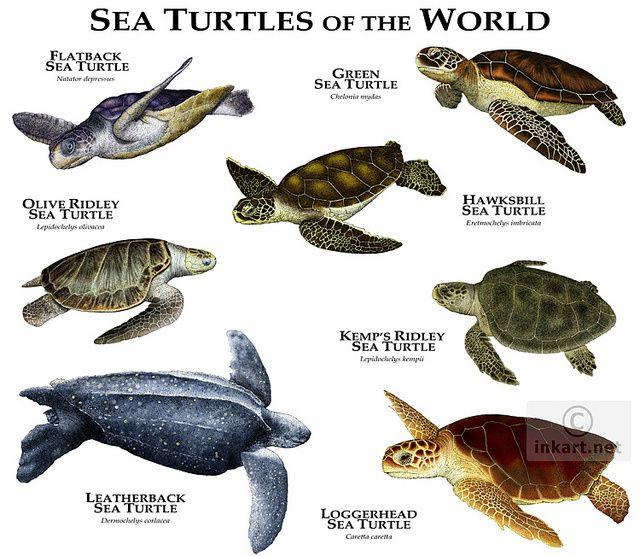 Havskildpadder. - www.moskusskildpadde.dk