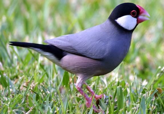 Http Memelihara Com Harga Burung Gelatik Html Burung Hewan Gelatik Batu