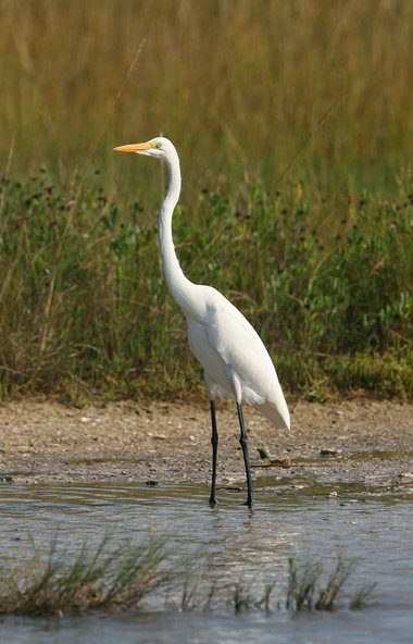 Dauphin IslandIslands Life, Favorite Places,  Great White Heron, American Egrets, Dauphin Islands,  Egretta Albus