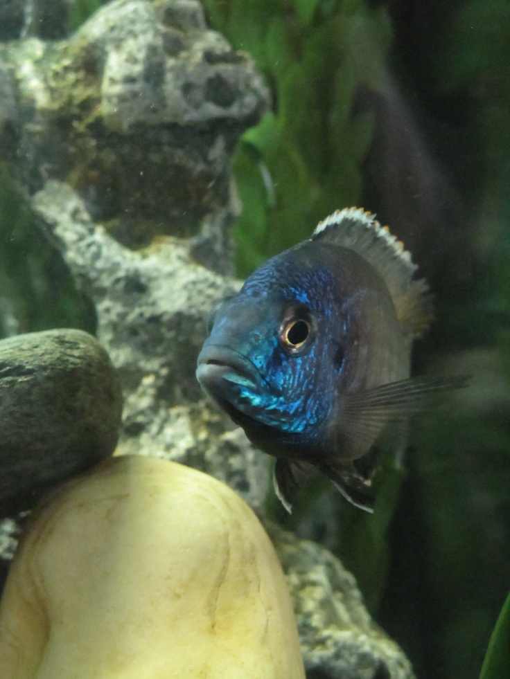 1000 images about african cichlid lake malawi aquarium for African cichlid fish