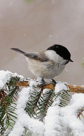 """Soft Elegance"" — seasonsofwinterberry: Black Cap Chickadee on a..."