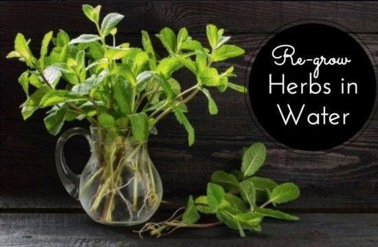 Regrow herbs in water