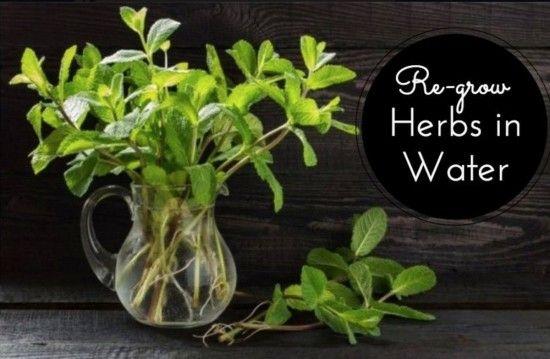 Regrow herbs in water