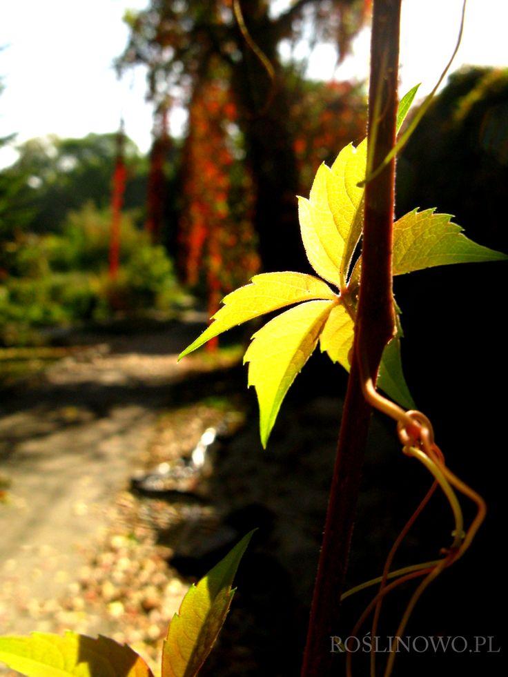 Winobluszcz pięciolistkowy (Parthenocissus quinquefolia) 3