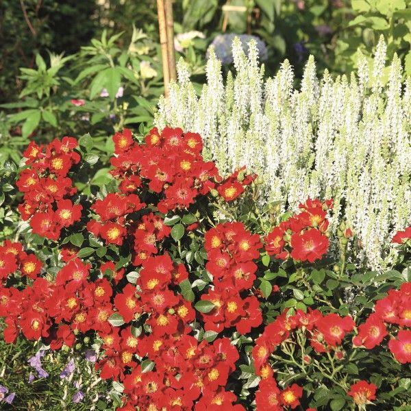Bienenweide--Rot