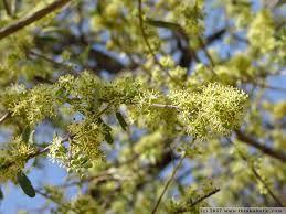 Boscia albitrunca - Shepherds Tree