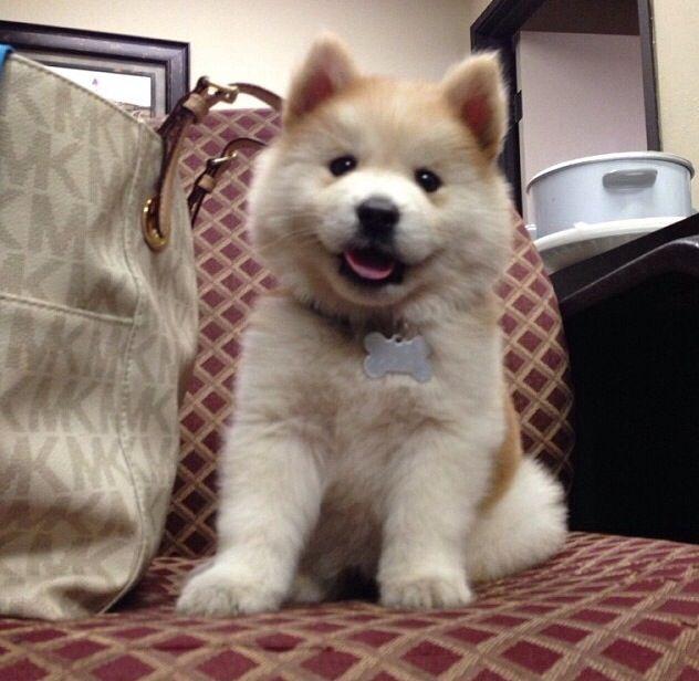 Chowsky (Chow+Husky) I WANT ONE