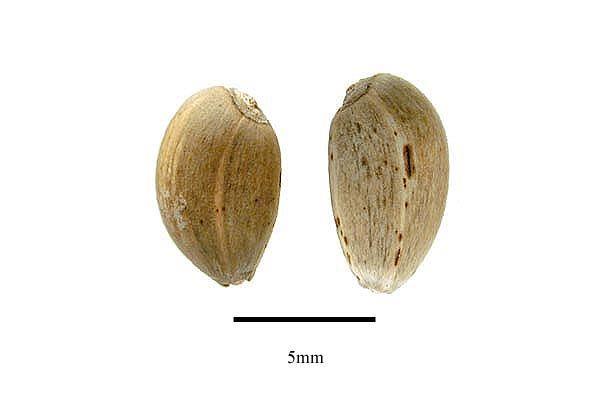 http://www.ars-grin.gov/npgs/images/sbml/Cynara_cardunculus_seeds.jpg