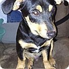 Check out Charlie Brown, an adoptable Australian Kelpie/Dachshund Mix on Adopt-a-Pet.com.