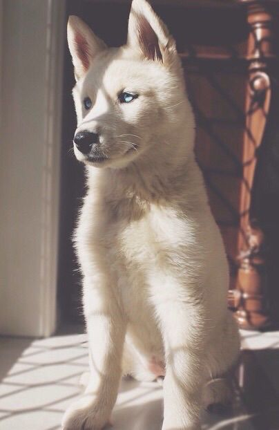white german shepard  It's so beautiful