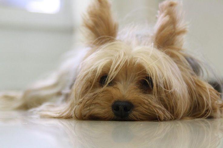 Razas de perros más bonitos del mundo: Yorkshire terrier