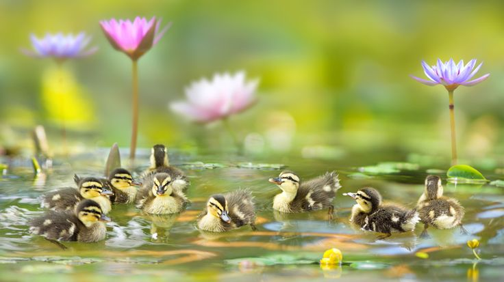 THE UGLY DUCKLING  , автор — FuYi Chen на 500px.com