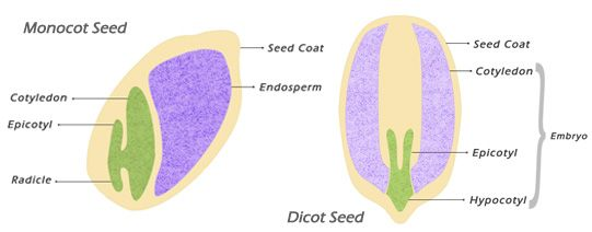technology and seeds on pinterest : monocot seed diagram - findchart.co