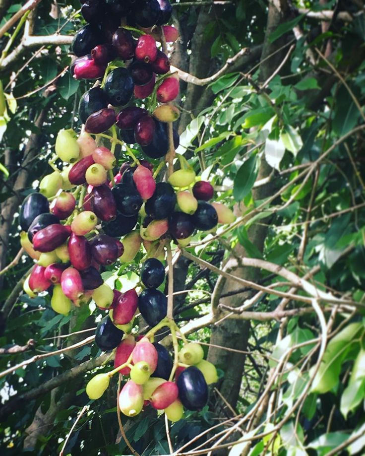 Jamun // Java Plum  Dreaming of summer and a beautiful rainbow of ripening fruit! #Jamun #BlackPlum or #JavaPlum is an important astringent summer fruit with myriad health benefits. Joining us all of the way from the East Indies and Southeast Asia Jamun grows amazingly here in #subtropical Central Florida! It loves our well-draining sandy soil wet summers and tolerates salinity really well. #rarefruit #indianfruit #tropical #fruittree #freshisbest #growyourown