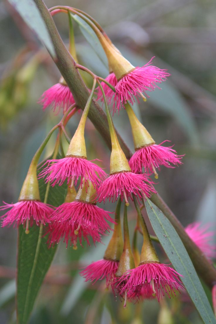 http://gardeningwithhelen.files.wordpress.com/2010/02/e-leucoxylon-rosea.jpg Eucalyptus Leucoxylon 'Rosea' grows in CA, SW & SE