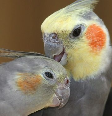 adorable cockatiels