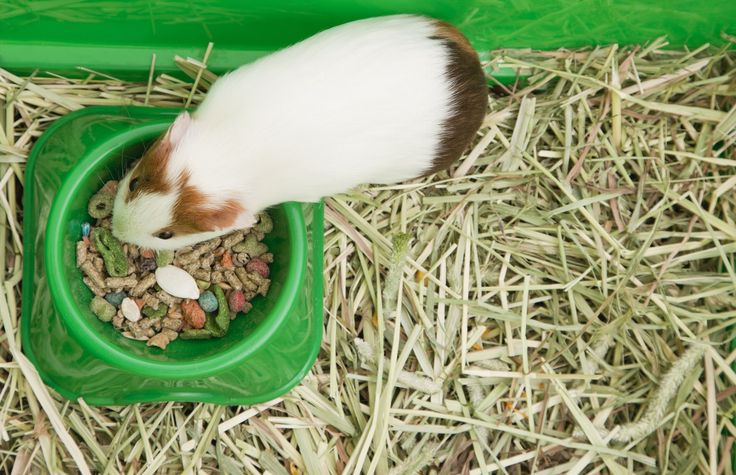 Can guinea pigs climb out of their cage? Find information on what to look for in a guinea pig cage and how to set up the cage for your guinea pig.