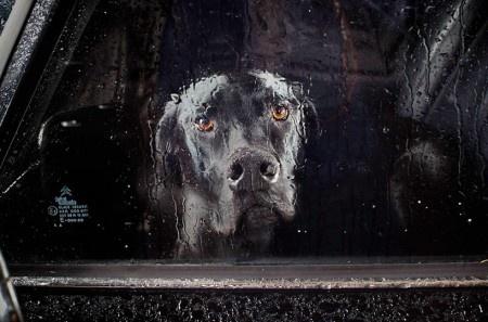 Остаться в детстве запертым в машине, пока ваши пошли в магазин, и сохранить память о том испуге на всю жизнь. Фотограф Мартин Юсборн (Martin Usborne) знает каково это. Однако если бы не тот случай, то мы вряд ли бы увидели замечательную серию фотографий, названную «The Silence of Dogs in Cars» (Безмолвие собак в машинах).