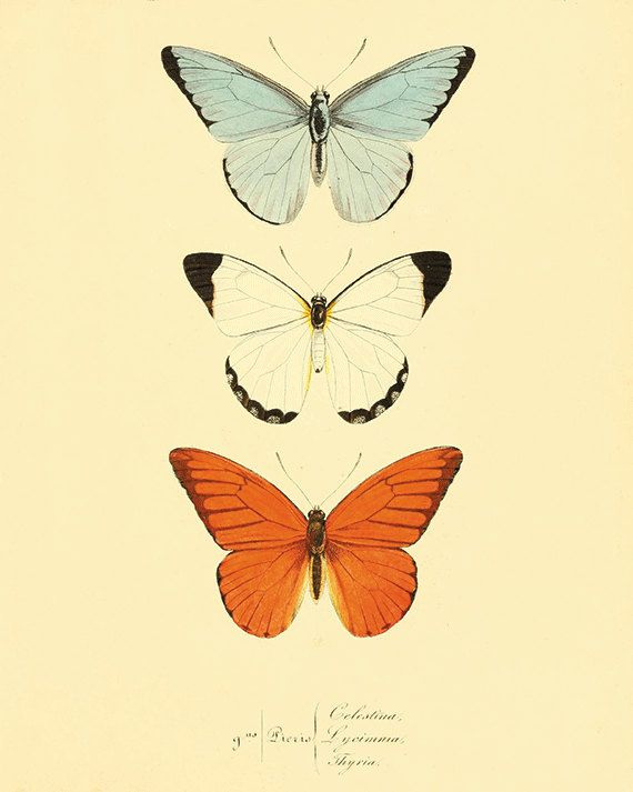 Orange Butterfly art print poster antique prints by AntiqueWallArt