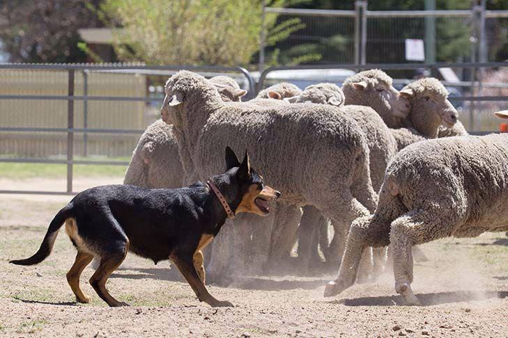 Working Kelpie Dog Breed Information - American Kennel