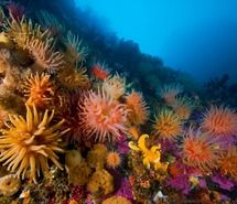 Anemones And Soft Corals Photograph By Paul Nicklen National Geographic Vibrant Are Part Of The Ecosystem In Svalbard