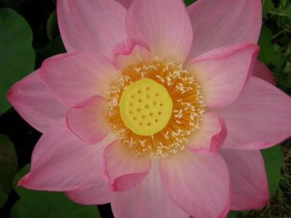 真上から見た蓮の花  LOTUS