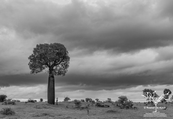 A Baobab tree waiting for the rain, Blackwater, Queensland, Australia #vaas8790 #blackwater #sevendayblacknwhitechallenge #thisisqueensland #queensland #australia_shotz #australiaphotography #travelphotography