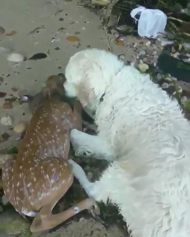 من مشاهد الرحمة بين الحيوانات كلب ينقذ غزال صغير من الغرق سبحان الله Animals Instagram Video Instagram