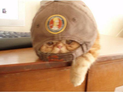 104 Grumpy Flat-Faced Cats   grumpy cats   Flat faced cat ...