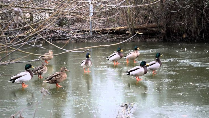 Mallard and Buff Ducks Walking, Sliding, and cracking the ice on a Frozen Lake in Oxfordshire, UK