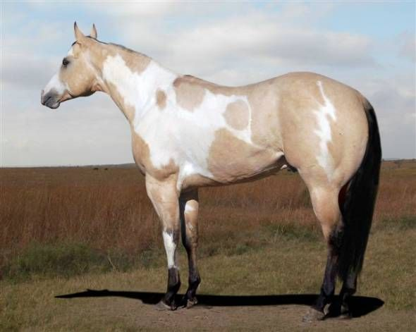 Buckskin Paint Horses   Horses For Sale, Horse Classifieds, Pictures & Horse Trailers