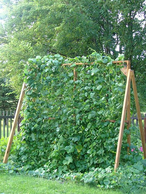 Frame for squash to grow up on. Conducive to privacy; could be stored in garage over winter.
