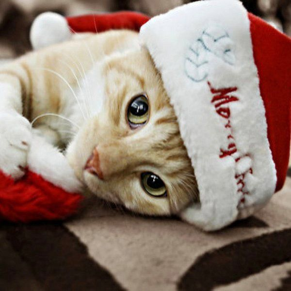 The most beautiful Santa-kitty!