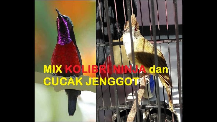 Burung Masteran Murai Batu,Kenari,Kacer,Cucak Ijo,Cendet,Ciblek:Mix Kolibri Ninja dan Cucak Jenggot