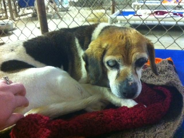 Meet GRANDMA MOSES a Petfinder adoptable Beagle Dog | Prestonsburg, KY | GRANDMA MOSES Female beagle 10 plus years old. Blind and deaf.If you are interested in this...