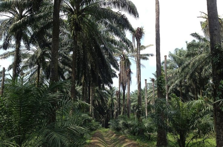 So how about cutting out that palm oil? How palm oil is produced.