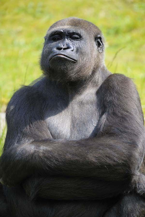 Le séquençage du génome du gorille révèle sa très grande proximité avec l'Homme - Science - RFI