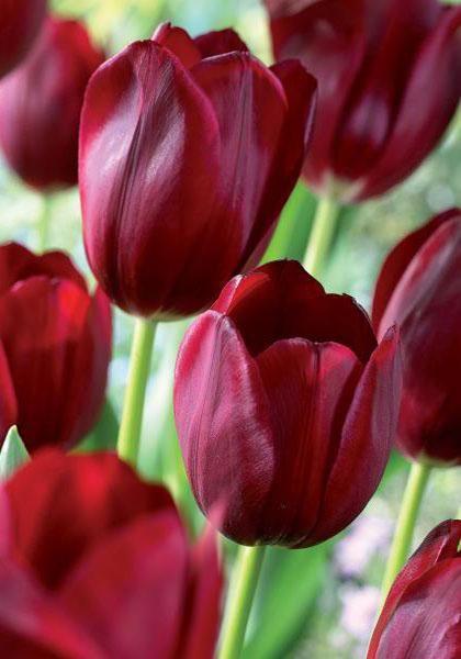 National Velvet Bulbs | Tulips Bulbs National Velvet | Buy Tulips Flower Bulbs Online | Bloms Bulbs UK An Award Winning Supplier