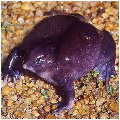 """This rare frog which is called purple frog was discovered for the first time in 2003, in Western Ghats in India. It is the one and only place where these species can be found. The frog is really purple, has very small eyes, unusual nose and believed to be a relative of ancient frogs, that lived during the time of the dinosaurs."""