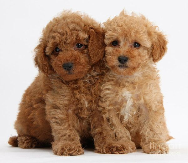 Toy Poodle Puppies For Sale Near Me Tiny Toy Poodle Breeders Toy Poodle Puppies Toy Dog Breeds Poodle Puppy