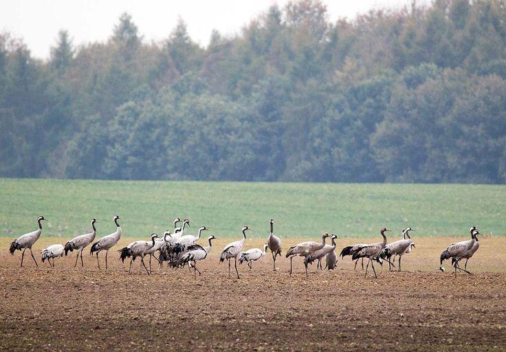 Kranichbeobachtungen auf den Feldern an der Müritz | Kraniche auf den Feldern bei Röbel (c) Frank Koebsch (10)